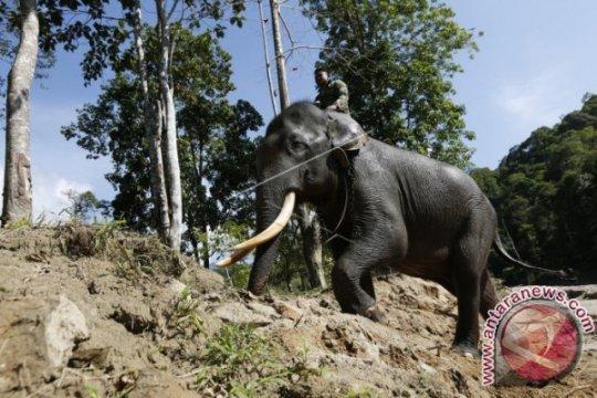 Kawanan Gajah dekati perkebunan warga Aceh Jaya