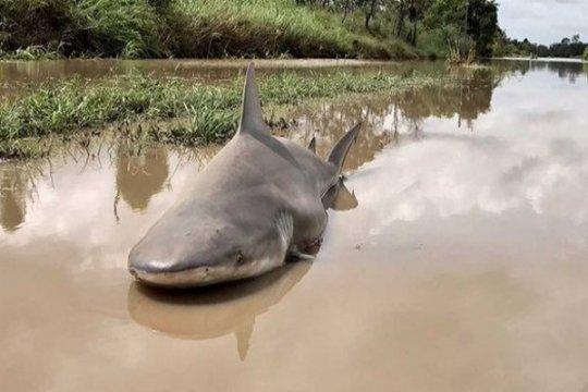 Banjir bawa hiu ke hunian warga Australia