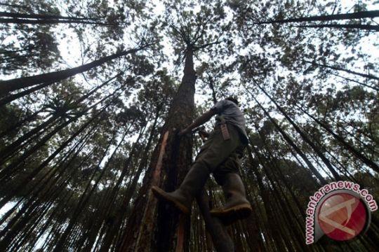 Pohon langka berumur 170 tahun ditebang