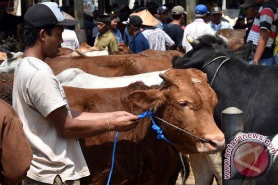 Dinas Pertanian Maluku Utara imbau sapi produktif jangan dijadikan kurban