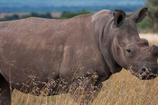 Embrio hibrida diharapkan selamatkan badak putih utara dari kepunahan