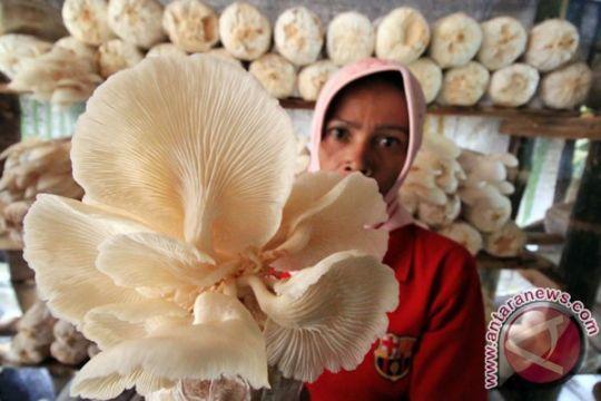 Mahasiswa UGM budidaya jamur di Kimak Bangka