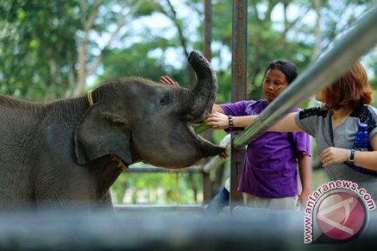 Dua gajah jinak Way Kambas hamil