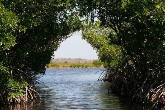 Mahasiswa tanam mangrove di sungai Hitam Bengkulu