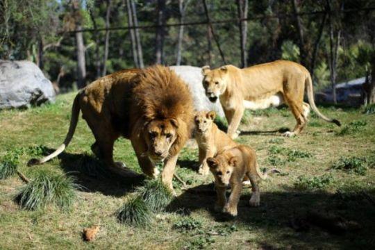 Singa lahir di Chile setelah menjalani vasektomi