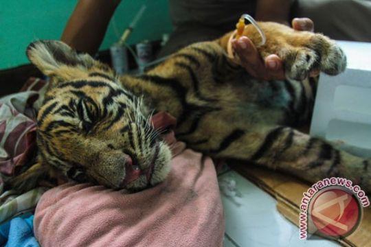 Harimau yang terjebak di pasar Riau terluka karena jerat