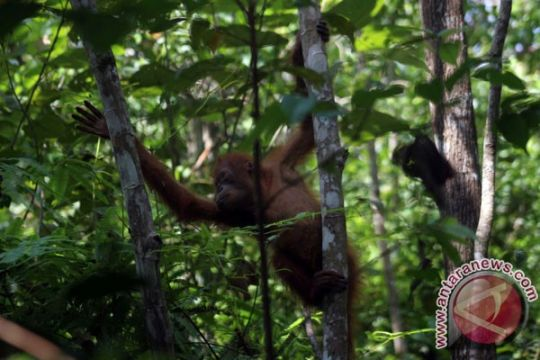 Orangutan Kalteng hasil sitaan di Kuwait tiba di Sampit