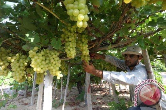 Militer Israel halangi petani Palestina panen di ladangnya