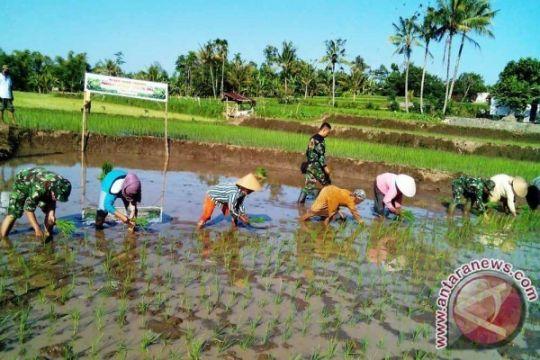 Mabes TNI panen padi di Kapuas Hulu