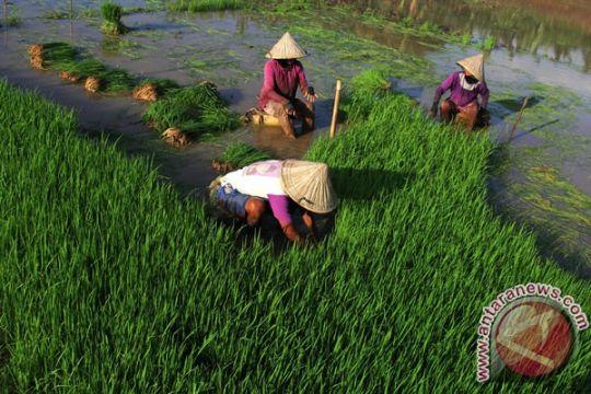 Padi ciherang aromatik, inovasi bioteknologi dari Balitbang Pertanian