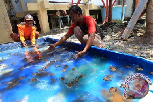 Empat jenis penyu ditangkarkan nelayan Bengkulu