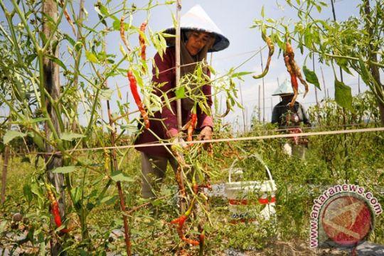 Eks transmigran Kabupaten Siak tetap tanam hortikultura