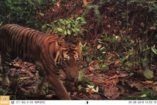 Kehadiran harimau kembali terdeteksi di Indragiri Hilir