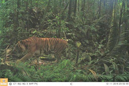Dua harimau muncul di Pelalawan