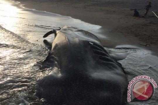 Tiga ekor hiu paus terdampar di Manggarai