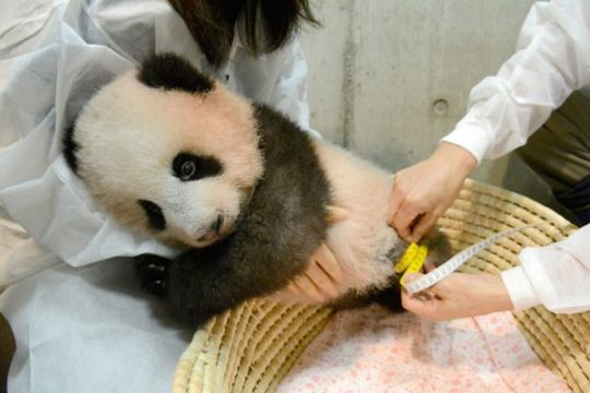 Bayi panda Xiang Xiang tampil perdana di kebun binatang Jepang