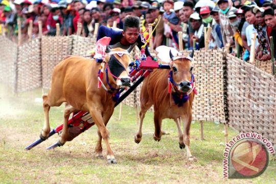 24 pasang sapi kerap bersaing di festival Karapan Sapi Madura