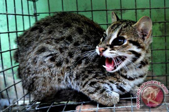 BKSDA Jambi lepas liarkan kucing hutan
