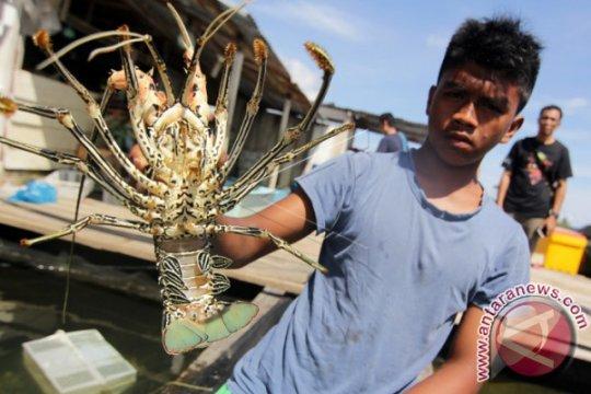 Menteri Edhy: Regulasi terkait lobster untuk sejahterakan rakyat
