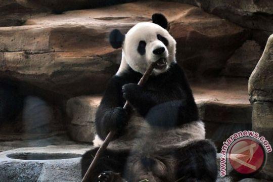 Tubuh panda bisa netralkan sianida