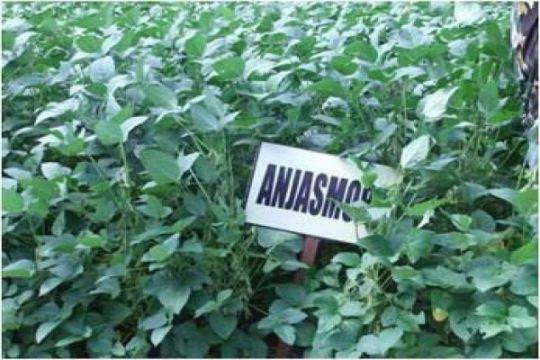 Inovasi perbenihan kedelai di Provinsi Jambi