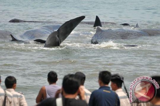 Ratusan paus mati terdampar secara besar-besaran di Australia