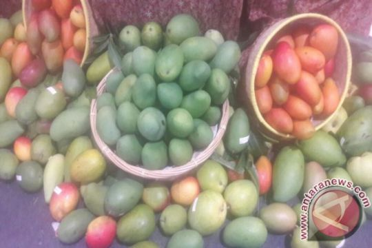 Mangga Agri Gardina 45 dan Gadung 21,  siap ramaikan agribisnis buah nusantara