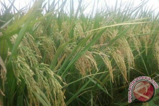 Varietas padi Green Super Rice siap geser Ciherang