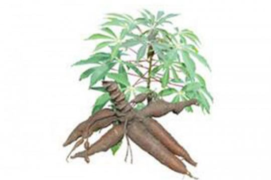 Dua varietas ubi kayu Adira, mana yang pas untuk usaha Anda