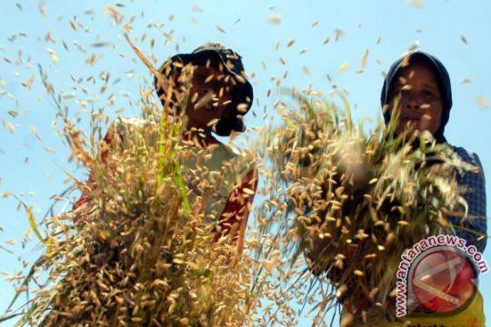 Panen raya padi di Sulawesi Tenggera Februari
