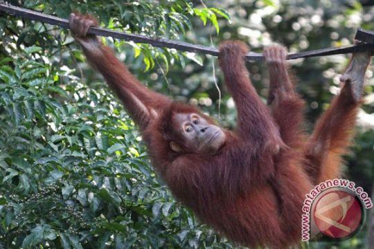 102 orangutan dilepasliarkan ke hutan Jantho Aceh