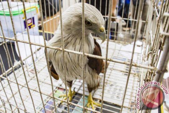 Walhi Sumut: lindungi satwa elang bondol