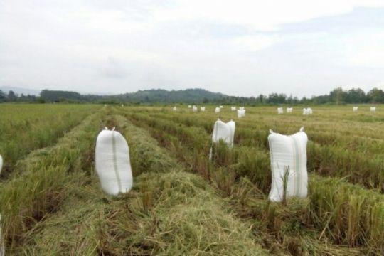 Mekongga dan Ciherang disukai petani Konawe