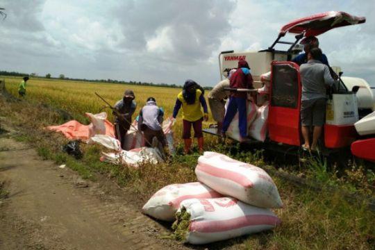 Panen padi tak pernah usai di Musi Rawas, pasokan beras aman