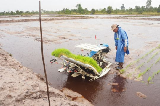 Menambang beras di lahan bekas tambang