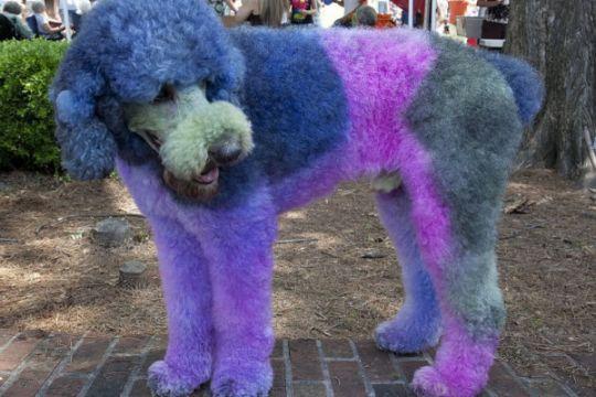 Ini bahayanya jika warnai bulu anjing