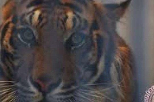Jikalahari minta Pemrov Riau selamatkan habitat harimau Sumatera