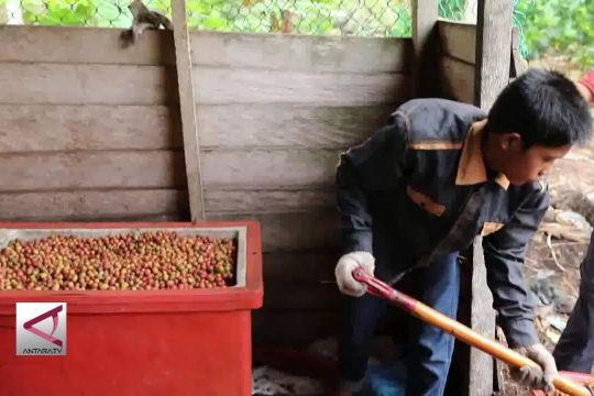 Mengenal kopi Liberika asal Kabupaten Meranti