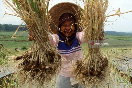 Harga bawang putih di pasar rakyat Jatim mulai turun