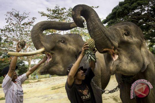 Perawatan kesehatan gajah Sumatera
