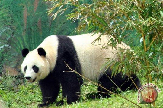 Panda Hu Chun di Taman Safari  bagi-bagi hadiah peringati ultahnya