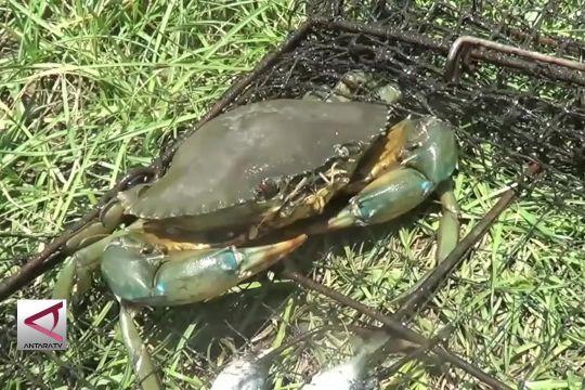 Penggemukan kepiting bakau, peluang usaha yang menggiurkan
