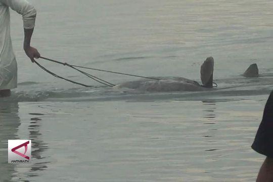Lagi, ikan mola mola terdampar di Teluk Palu