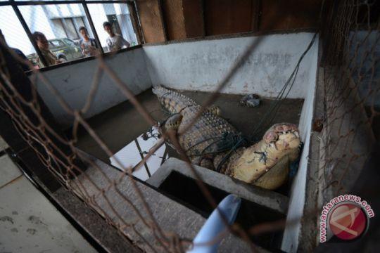 Seekor buaya Sungai Mentaya Kalteng mati usai makan umpan pancing