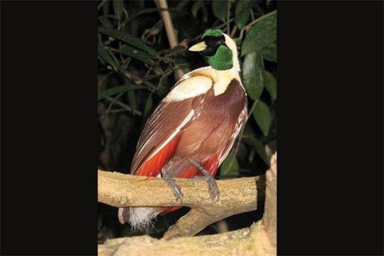 Ada dua Cendrawasih endemik Raja Ampat
