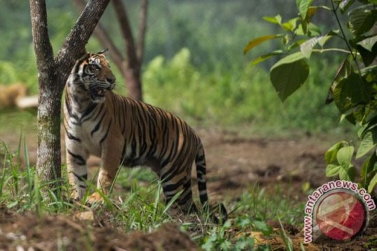 Harimau sumatera Bonita dan Atan Bintang akan dilepasliarkan