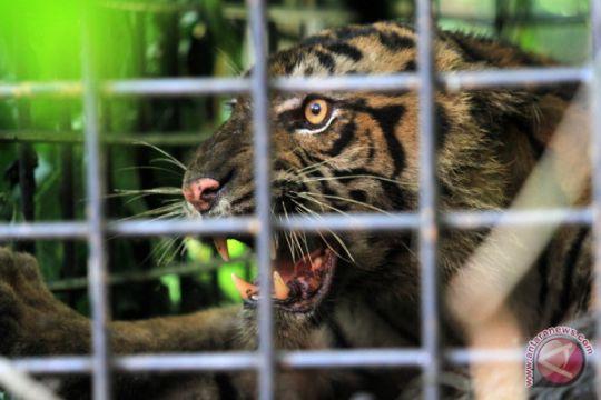 Harimau Sumatra Terperangkap