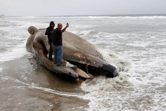 Kematian paus abu-abu di W. Coast berkaitan dengan penghangatan Arktik