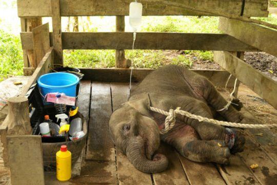Pengobatan anak gajah terkena jerat