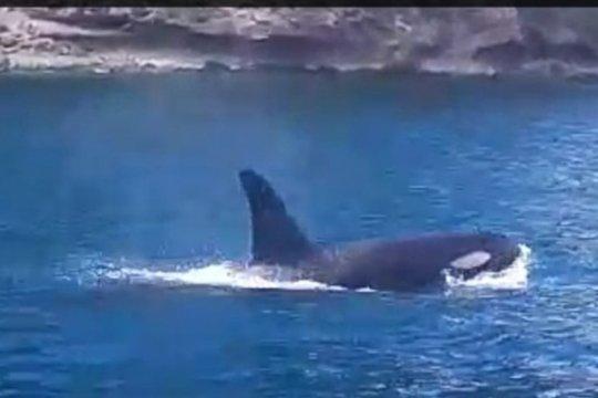 Peneliti katakan penampakan paus pembunuh di Anambas sebuah anomali
